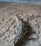 Crocodilo no jardim zoológico Imagem de Stock Royalty Free