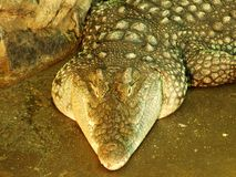 Crocodilo no jardim zoológico em Zagreb imagem de stock