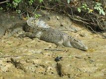 Crocodilo no pântano Fotografia de Stock