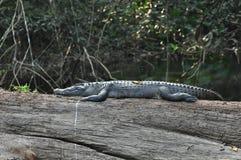 Crocodilo no parque nacional de Khao Yai, Tailândia Imagem de Stock