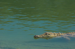 Crocodilo no rio Fotografia de Stock Royalty Free
