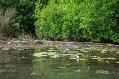 Crocodilo no rio de Bentota Foto de Stock Royalty Free