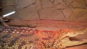 Crocodilo no terrarium cayman jacaré filme