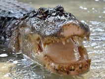 Crocodilo nos tanques de água sem cercar fotos de stock