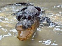 Crocodilo nos tanques de água sem cercar fotografia de stock royalty free