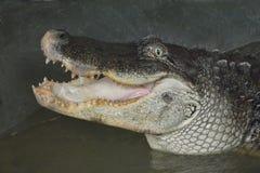Crocodilo nos tanques de água sem cercar 3 imagens de stock