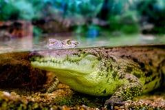 Crocodilo novo que olha fixamente fora da água Imagem de Stock Royalty Free