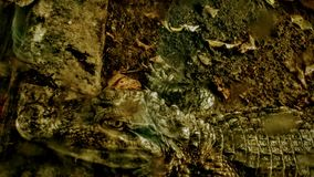 Crocodilo ou jacaré? Imagem de Stock Royalty Free