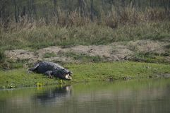 Crocodilo, palustris do Crocodylus Imagem de Stock