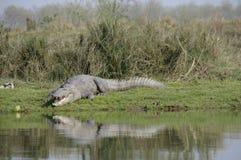 Crocodilo, palustris do Crocodylus Fotografia de Stock