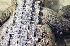 Crocodilo para trás fotografia de stock royalty free