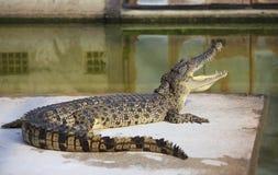 Crocodilo pboquiaberto Disparado na exploração agrícola e no jardim zoológico do crocodilo de Samut Prakan Imagens de Stock Royalty Free