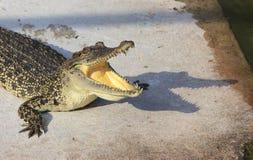 Crocodilo pboquiaberto Disparado na exploração agrícola e no jardim zoológico do crocodilo de Samut Prakan Foto de Stock Royalty Free