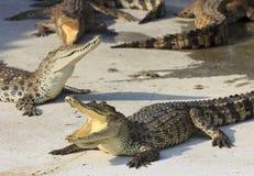 Crocodilo pboquiaberto Disparado na exploração agrícola e no jardim zoológico do crocodilo de Samut Prakan Fotografia de Stock