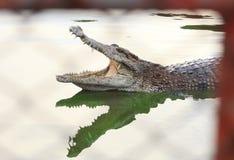 Crocodilo pboquiaberto Disparado na exploração agrícola e no jardim zoológico do crocodilo de Samut Prakan Imagens de Stock