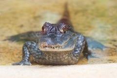 Crocodilo pequeno Imagens de Stock Royalty Free