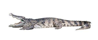 Crocodilo perigoso Foto de Stock Royalty Free