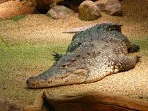 Crocodilo preguiçoso Fotografia de Stock Royalty Free