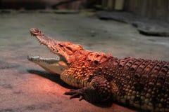 Crocodilo que aquece-se no jardim zoológico imagem de stock