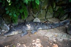 Crocodilo que encontra-se nas rochas sob arvoredos de árvores tropicais fotos de stock