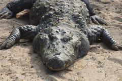 Crocodilo que toma o resto na terra Foto de Stock