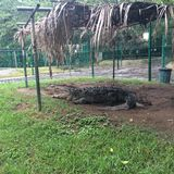 Crocodilo relaxado foto de stock