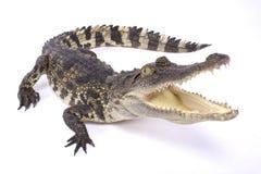 Crocodilo Siamese, siamensis do Crocodylus Fotografia de Stock Royalty Free