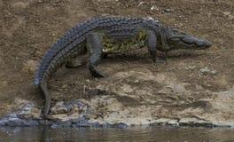 Crocodilo - Skukuza - KNP Fotos de Stock Royalty Free