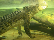 Crocodilo sob a água Fotos de Stock