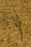 Crocodilo sob a água Foto de Stock Royalty Free