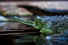 Crocodilo, teeths Imagens de Stock