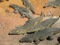 crocodilos Foto de Stock Royalty Free