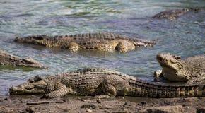 crocodilos Fotos de Stock