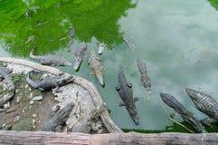 crocodilos Foto de Stock