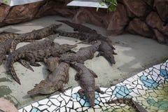 crocodilos Imagem de Stock Royalty Free
