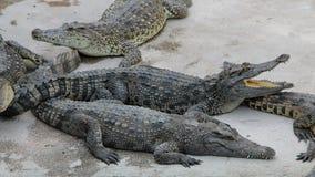 crocodilos Imagens de Stock Royalty Free