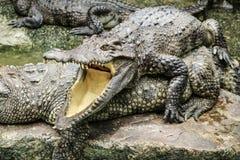 crocodilos Imagem de Stock