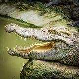 crocodilos Foto de Stock Royalty Free