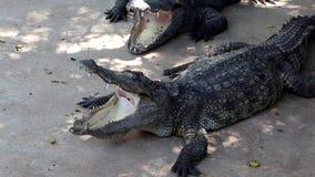 Crocodilos com bocas abertas vídeos de arquivo