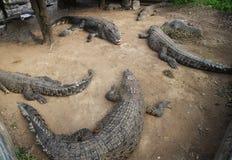 Crocodilos com fome imagens de stock