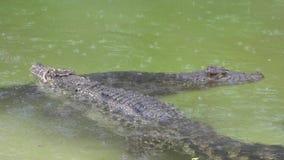 Crocodilos cubanos video estoque