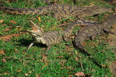 Crocodilos de África Fotos de Stock Royalty Free