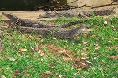 Crocodilos de África Fotografia de Stock