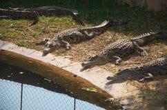 Crocodilos de África Imagens de Stock Royalty Free