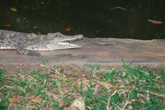 Crocodilos de África Foto de Stock Royalty Free