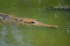 Crocodilos de água doce Imagem de Stock