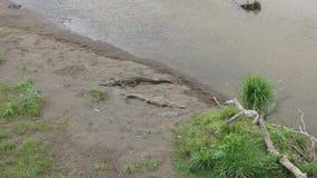 Crocodilos de americanos Tarcoles imagens de stock royalty free