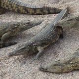 Crocodilos de Nile Imagens de Stock