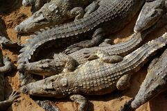 Crocodilos do sono Imagem de Stock Royalty Free