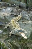 Crocodilos e jacarés no parque do crocodilo Foto de Stock Royalty Free